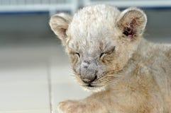 Cub di leone Immagine Stock