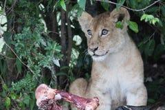 Cub di leone Immagine Stock Libera da Diritti