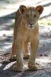 Cub di leone Immagini Stock Libere da Diritti