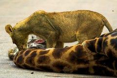 Cub di leone affamato Fotografia Stock