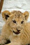Cub di leone africano Fotografie Stock Libere da Diritti