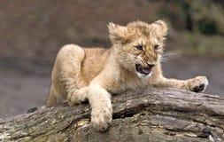 Cub di leone asiatico Fotografie Stock