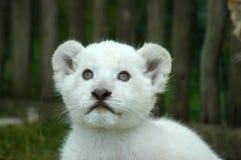 Cub di leone bianco Fotografie Stock