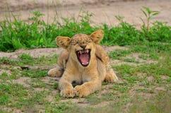 Cub di leone che sbadiglia Fotografia Stock