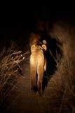 Cub di leone di caccia Fotografie Stock