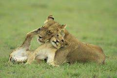 Cub di leone e lioness fotografie stock libere da diritti