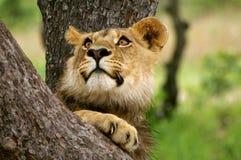 Cub di leone maschio in un albero Immagini Stock Libere da Diritti