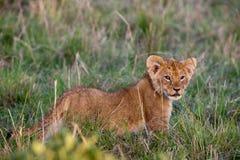 Cub di leone (Panthera leo) Fotografie Stock