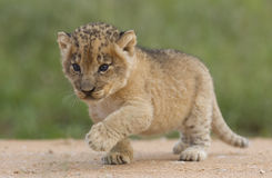 Cub di leone, Sudafrica Immagini Stock