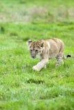 Cub di leone sveglio Immagini Stock