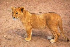 Cub di leone sveglio Fotografia Stock Libera da Diritti