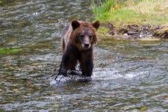 Cub di orso dell'orso grigio Fotografia Stock Libera da Diritti