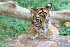 Cub di tigre Immagini Stock Libere da Diritti