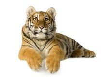 Cub di tigre (5 mesi) fotografia stock libera da diritti