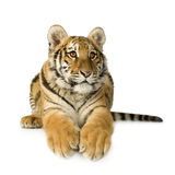 Cub di tigre (5 mesi) Fotografia Stock