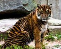 Cub di tigre Immagine Stock