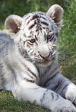 Cub di tigre immagini stock