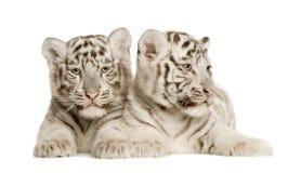 Cub di tigre bianco (2 mesi) Immagine Stock Libera da Diritti