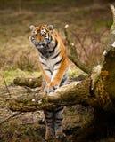 Cub di tigre siberiano Immagine Stock