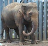 Cub do elefante indiano (maximus do Elephas) Imagens de Stock