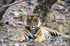 Cub do tigre de Bengal real Foto de Stock Royalty Free