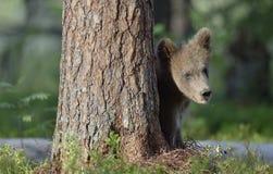 Cub do Ursus Arctos Arctos do urso de Brown na floresta do verão Fotos de Stock Royalty Free