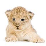 cub down lion lying στοκ εικόνες με δικαίωμα ελεύθερης χρήσης