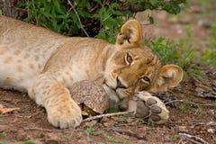 Cub e tortoise di leone Fotografie Stock