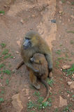 Cub and female monkeys. Female monkey protects her cub in the park Stock Images
