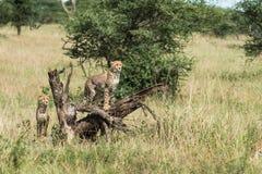 CUB-Gepard an Nationalpark Serengeti, der nach Lebensmittel, Tansania, Afrika sucht lizenzfreie stockbilder