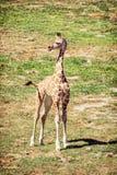 Cub giraffe Rothschild ` s, κίτρινο φίλτρο Στοκ φωτογραφία με δικαίωμα ελεύθερης χρήσης