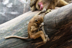 The cub of Guinea baboon is hanging and holding on tail of his m Royalty Free Stock Photo