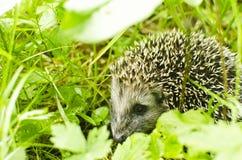 Cub of Hedgehog Royalty Free Stock Photos