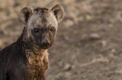Cub Hyena Στοκ Φωτογραφία