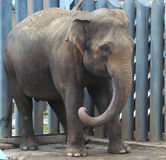 Cub of the Indian elephant (Elephas maximus). In steel jungle Stock Images