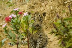 Cub of Leopard Cat. At Ranthambore wild life sanctuary ; Rajasthan ; India Stock Photography