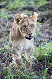 The cub of a lion goes to the camera. Botswana Stock Image