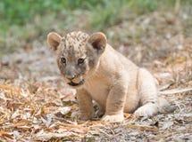 Cub of lion Royalty Free Stock Photos