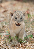 Cub of lion Royalty Free Stock Photo