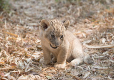 Cub of lion Royalty Free Stock Images