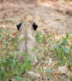 Cub of lion Stock Photo