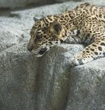Cub Looking Down. A Jaguar cub laying on a rock, looking down to see what's below Stock Photography