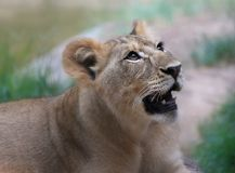 Cub looks up Royalty Free Stock Image