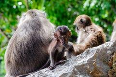 CUB-Macaca fascicularis, die auf einem Felsen sitzen und essen Babyaffen auf Phi Phi Islands, Thailand Lizenzfreie Stockfotografie