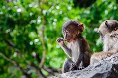 CUB-Macaca fascicularis, die auf einem Felsen sitzen und essen Babyaffen auf Phi Phi Islands, Thailand Lizenzfreie Stockfotos