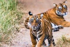 CUB masculin de tigre de Bengale royal images stock
