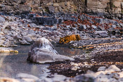 CUB masculin de tigresse Noor image stock