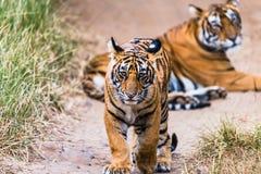 CUB masculin de tigresse Noor photos libres de droits