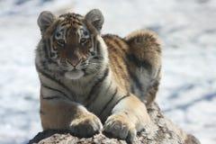 Cub mignon Photo libre de droits
