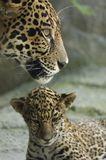 Cub and mother. A jaguar cub sits under it's mother, who is looking out for danger royalty free stock photos